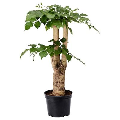 RADERMACHERA Potted plant, China doll, 12 cm
