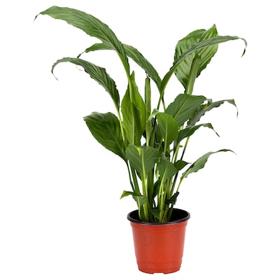 SPATHIPHYLLUM Potted plant, Peace lily, 10 cm