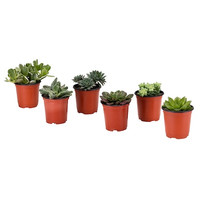 SUCCULENT Potted plant, assorted, 9 cm