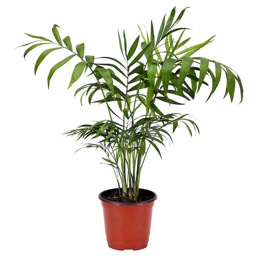 IKEA 샤마에도레아 엘레간스 식물