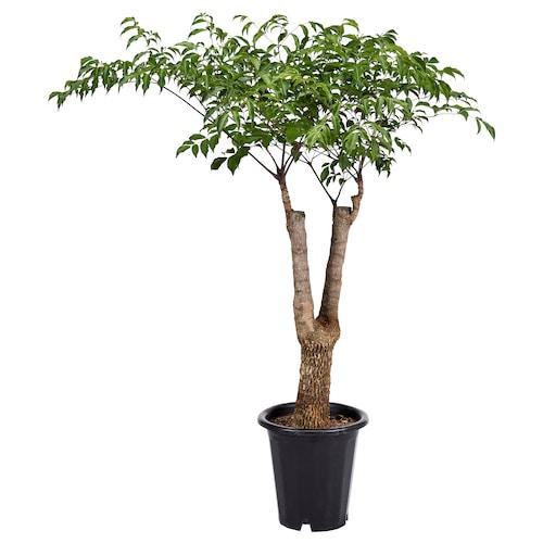 IKEA 헤테로파낙스 시넨시스 식물