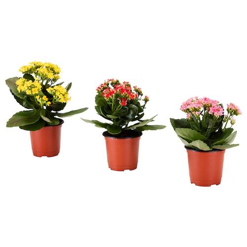 IKEA 칼란쇼에 식물