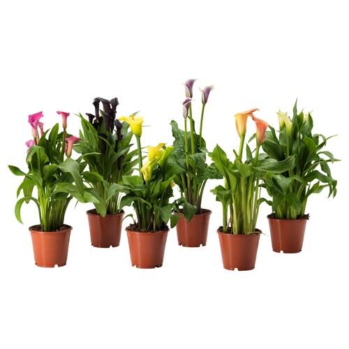 IKEA 산테데시아 식물