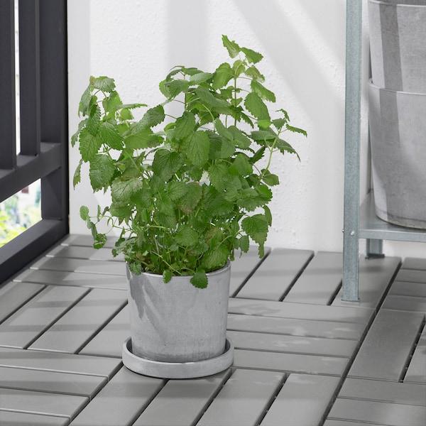 BOYSENBÄR صحن نباتات, داخلي/خارجي رمادي فاتح, 15 سم