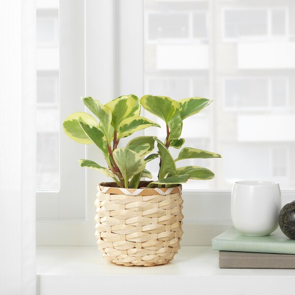 KAFFEBÖNA آنية نباتات, خيزران, 9 سم