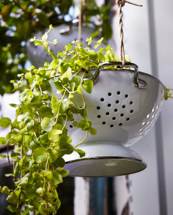 Enamelled colander used as a hanging planter