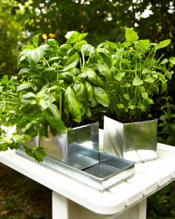 Fresh herbs growing in galvanised steel plant pots on a tray