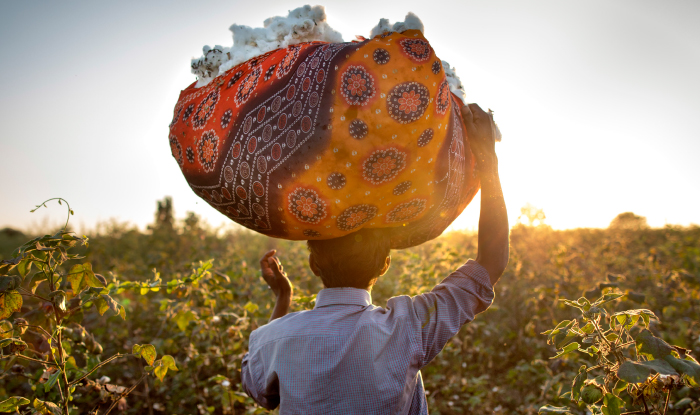 Man, standing in a cotton field, holding a printed cloth over head filled with cotton.