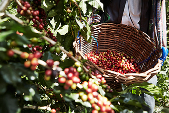 A basket filled with freshly picked red coffee berries.