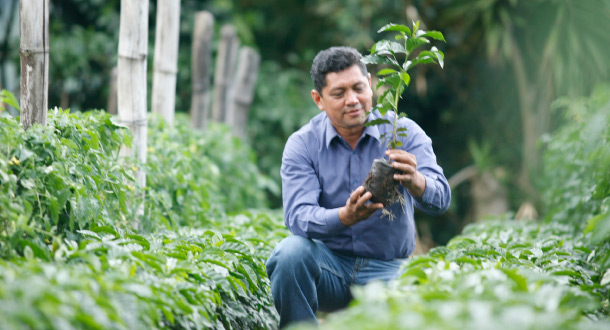 A UTZ-certified farmer checks a coffee plant