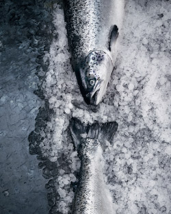 Close up of the head and tail of salmon on a bed of ice.