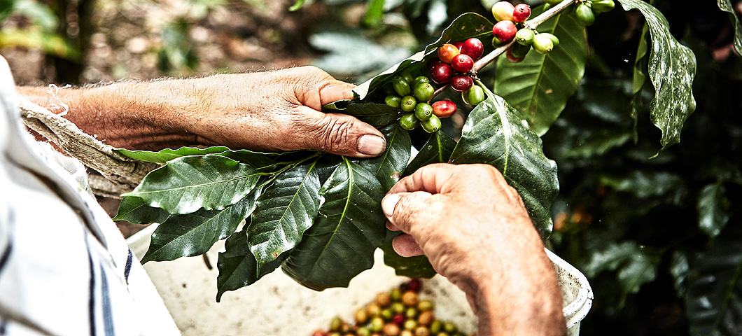 Close-up of hands picking coffee cherries from a plant.