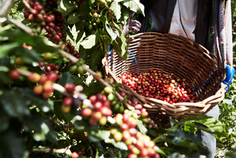 A basket of freshly picked coffee beans from UTZ certified cultivations.