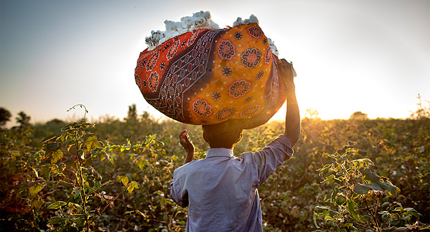 Cotton farmer, standing in a cotton field, carrying cotton balls on his head.