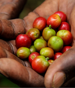 Freshly picked coffee cherries in the palm of a hand.