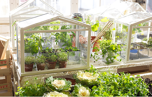 Several small greenhouses with herbs and seedlings growing in plant pots.