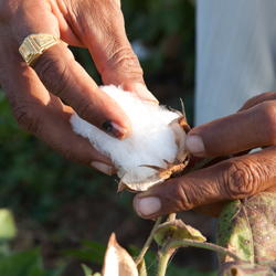 A close-up of hands picking cotton.