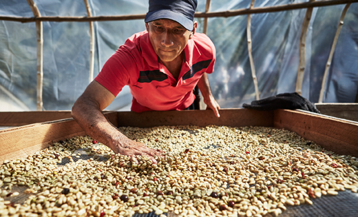 Local farmer in Peru drying coffee beans for PÅTÅR coffees, that are both UTZ-certified and organic too.