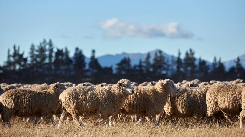 Sheep grazing in the sunlight while producing wool for IKEA products.