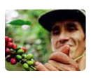 Man picking coffee beans