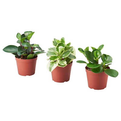 PEPEROMIA Potted plant, assorted, 12 cm