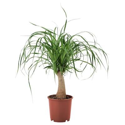 BEAUCARNEA RECURVATA Planta en maceta, beaucarnea, 15 cm