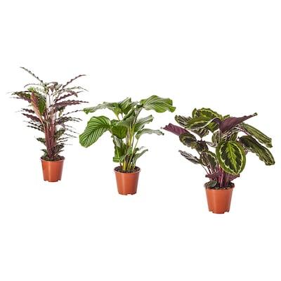 CALATHEA Planta en maceta, calatea/especies varias, 15 cm