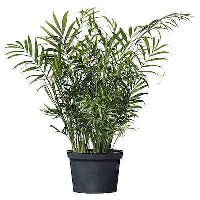 CHAMAEDOREA ELEGANS Planta en maceta, palmera de salón, 15 cm