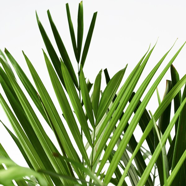 Chrysalidocarpus Lutescens Potted Plant