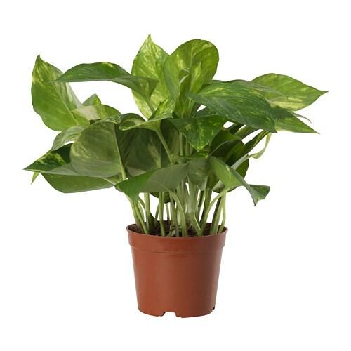 Epipremnum Potted Plant