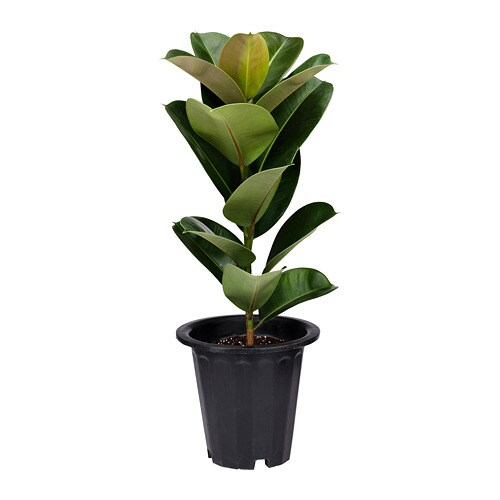 FICUS ELASTICA Potted plant - IKEA  FICUS ELASTICA ...