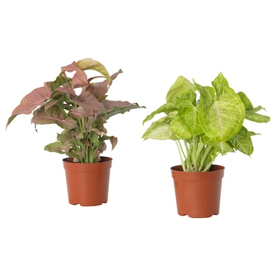 SYNGONIUM Potted plant, Goosefoot plant assorted, 12 cm