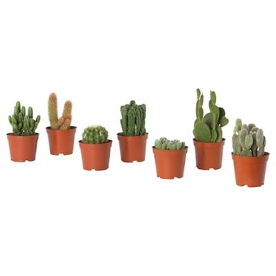 CACTACEAE Tumbuhan berpasu, kaktus/pelbagai, 9 cm