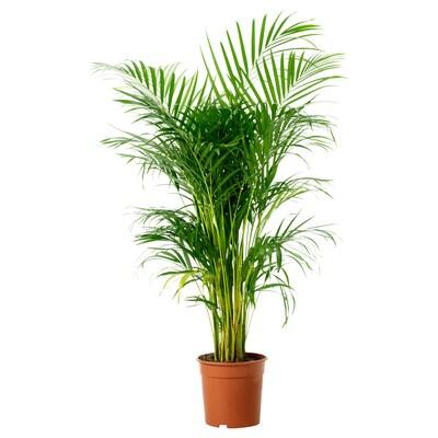 CHRYSALIDOCARPUS LUTESCENS Tumbuhan berpasu, Palma Areca, 24 cm