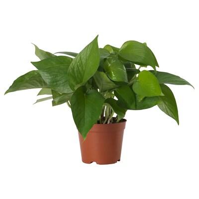 EPIPREMNUM Tumbuhan berpasu, Golden Pothos, 15 cm