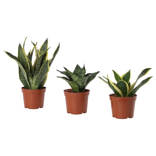 SANSEVIERIA HAHNII Tumbuhan berpasu, pelbagai, 9 cm