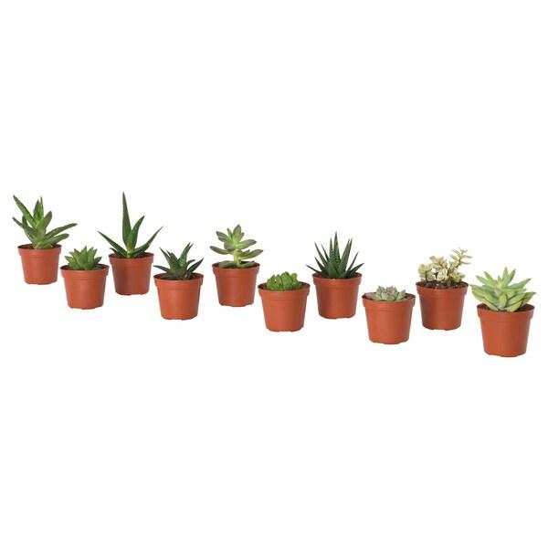 SUCCULENT Tumbuhan berpasu, pelbagai, 6 cm