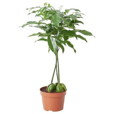 CASTANOSPERMUM Potted plant, lucky bean, 12 cm