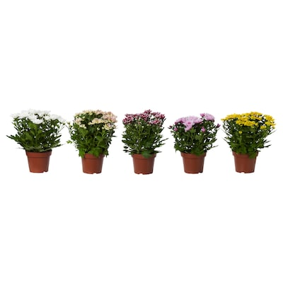 CHRYSANTHEMUM Potted plant, Chrysanthemums assorted colours, 14 cm