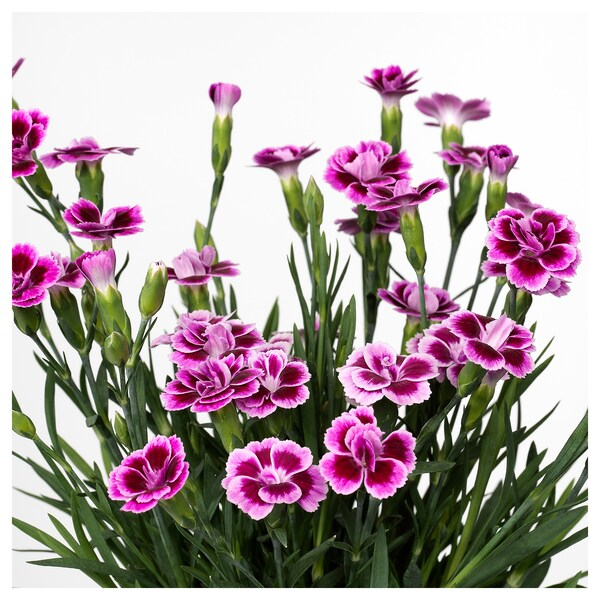 DIANTHUS Potted plant, carnation, 12 cm