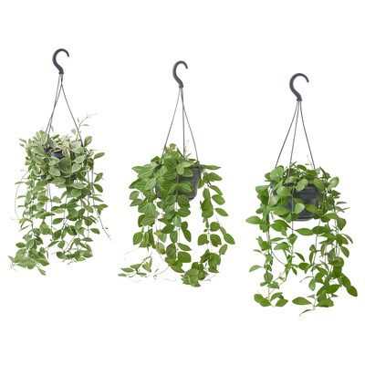 DISCHIDIA Potted plant, hanging/assorted, 14 cm
