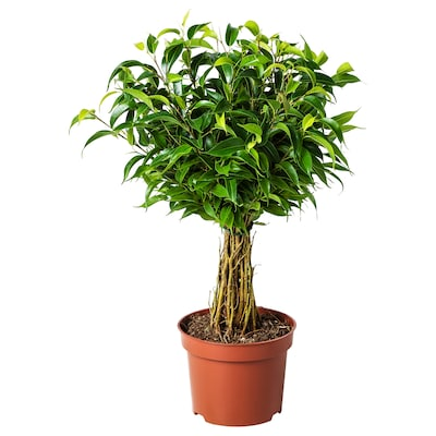 FICUS BENJAMINA 'NATASJA' Potted plant, Weeping fig, 12 cm