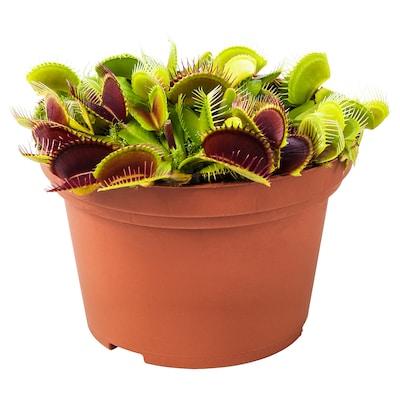 GRÖNSKAN Potted plant, carnivorous/assorted, 12 cm