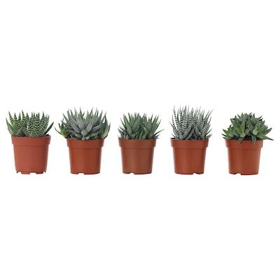 HAWORTHIA Potted plant, assorted, 6 cm