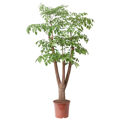 HETEROPANAX CHINENSIS Potted plant, 27 cm