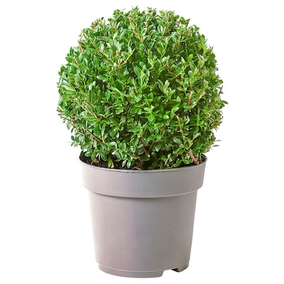 ILEX Potted plant, Box-leaved holly, 21 cm