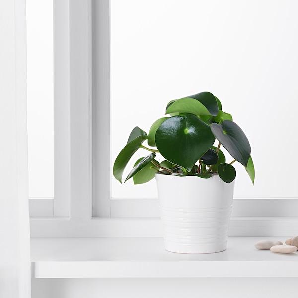 PEPEROMIA POLYBOTRYA Potted plant, 12 cm