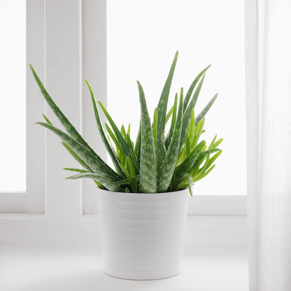 ALOE VERA Potplant, Aloë, 12 cm