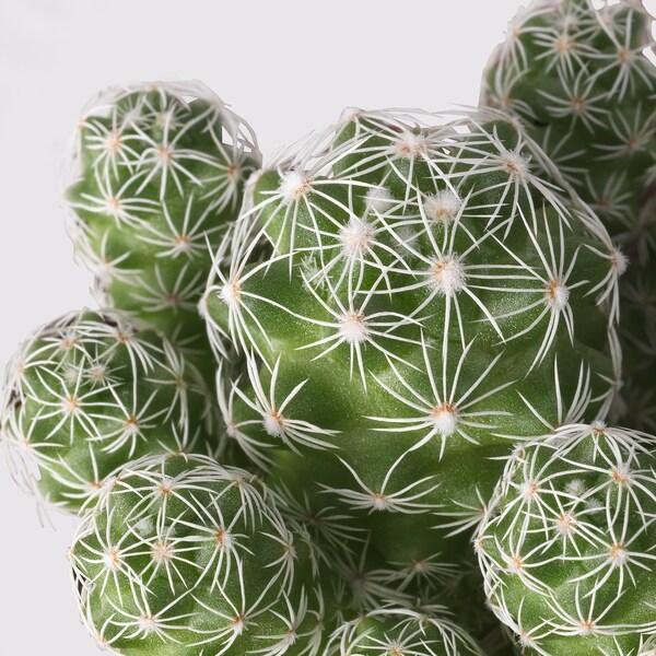 CACTACEAE Potplant, diverse soorten, 12 cm
