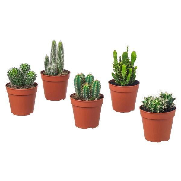 CACTACEAE potplant diverse soorten 12 cm 20 cm